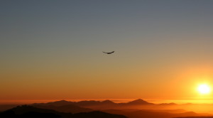 Hawk soaring for eveing dinner