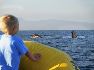 Maui Whale - Finn