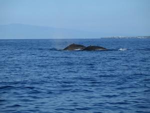 Maui Whale Trip 066